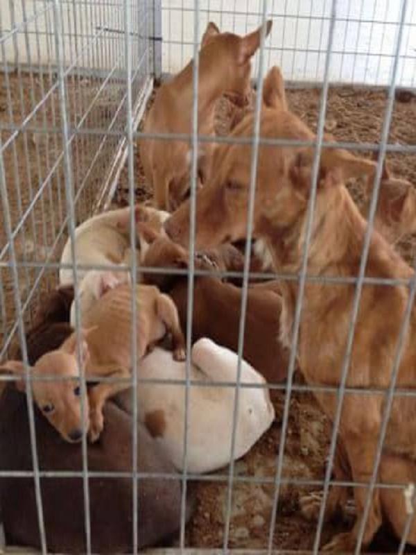 Un cazador acusado de tener a 55 perros hacinados, hambrientos, y en nefastas condiciones en un recinto de 30 metros cuadrados