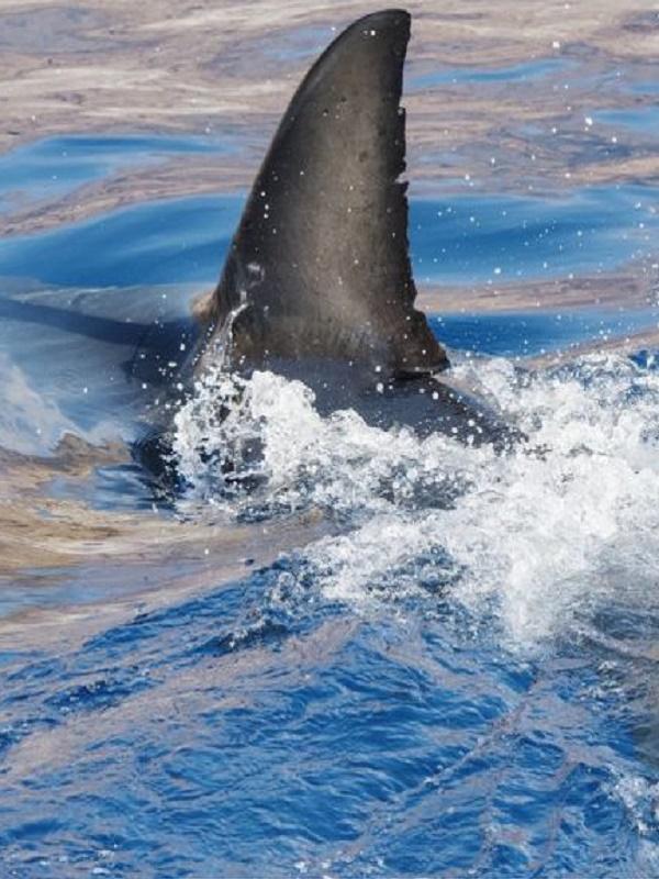 El consumo de aletas de tiburón no extinguirá las especies, pero si su carne