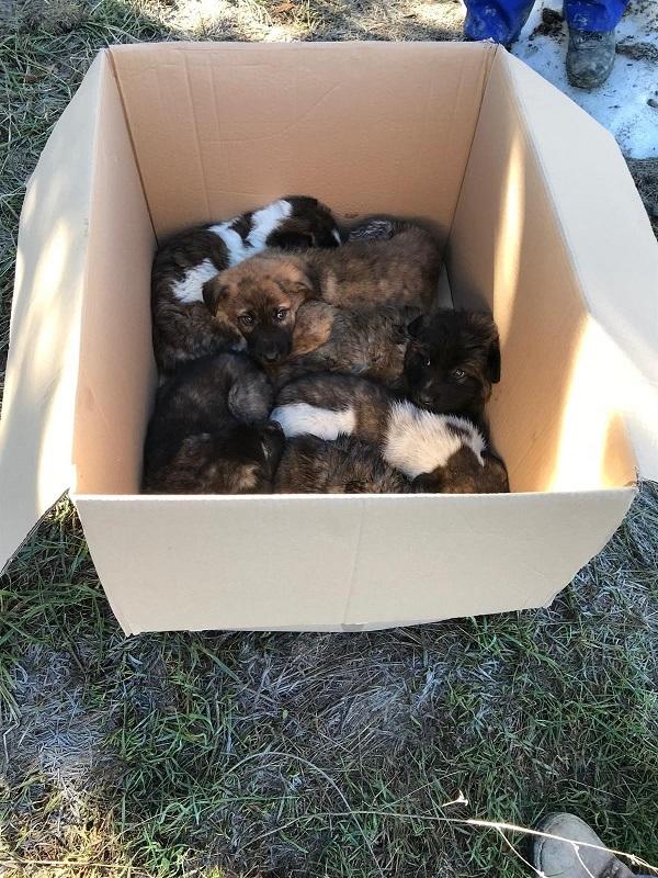 Algún simpático abandono de seis cachorros de mastín en una caja de cartón