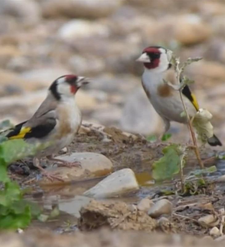 Pillan a dos delincuentes cazando aves protegidas en Hortaleza