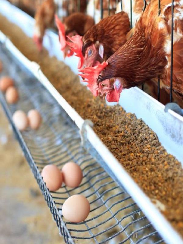 Exigiran en Europa la total prohibición de venta de huevos de gallinas criadas en jaulas