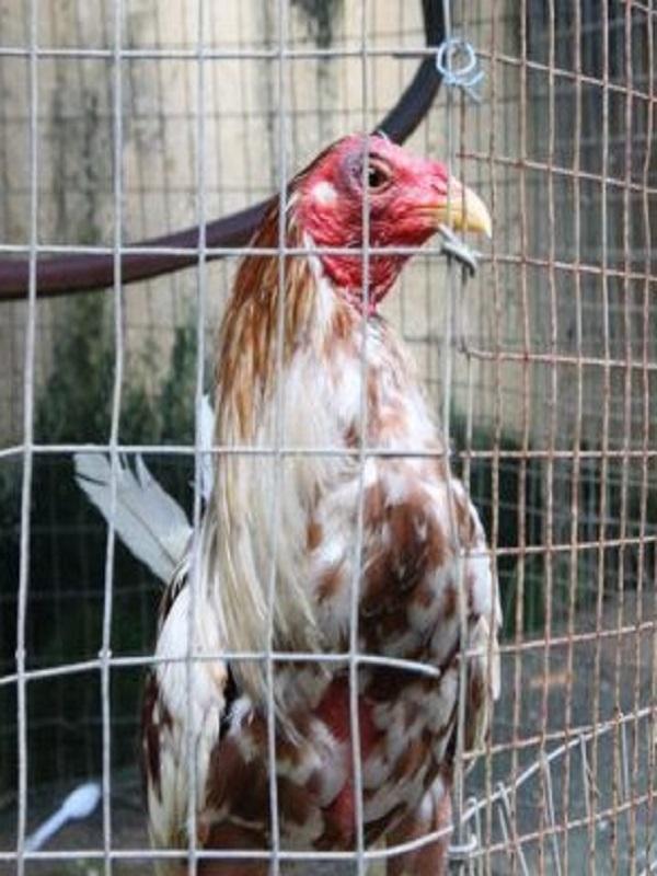 Once delincuentes acusados de organizar peleas de gallos ilegales