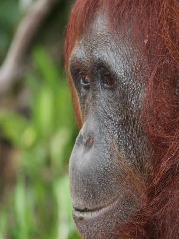 Orangutanes de Borneo, un presente y futuro NEGRO