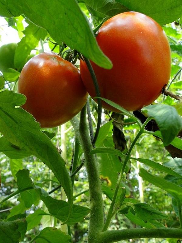 Extraordinarios tomates utilizando la mitad de agua de riego