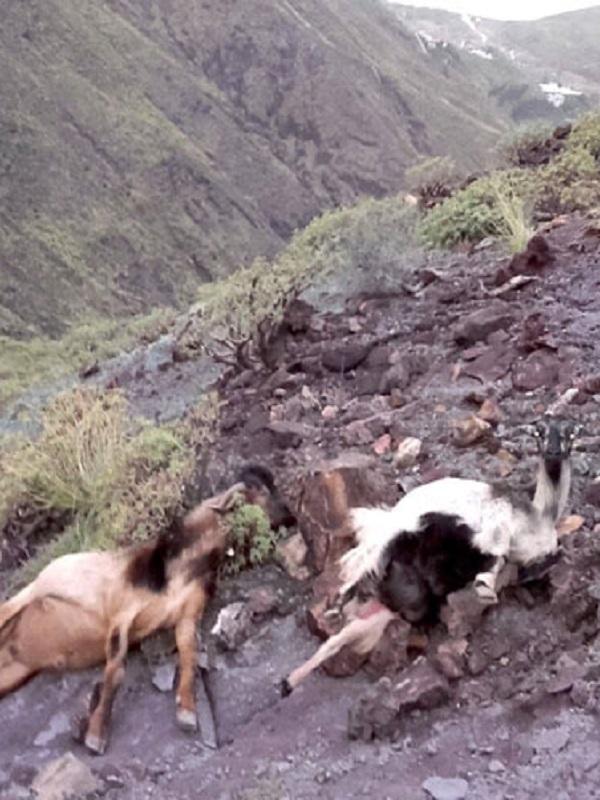 Macabro hallazgo de varias cabras hispánicas muertas en unos baños públicos en Catí