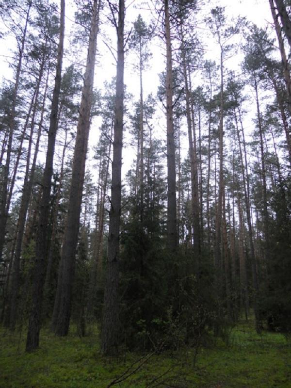 La miserable tala del bosque de Bialowieza en Polonia