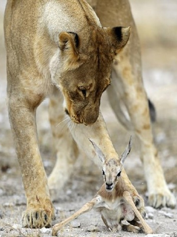Una leona hace de MAMA a una cría de antílope y no es broma