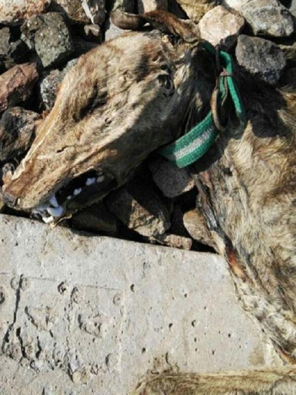 Aparecen 20 perros que murieron atados a la vía del tren