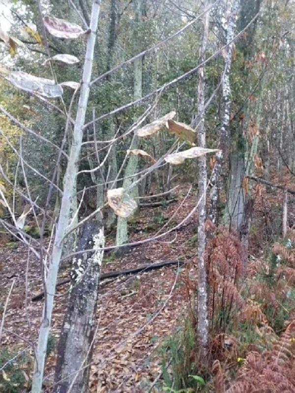 La plaga de la plantaciones de eucaliptos en Asturias