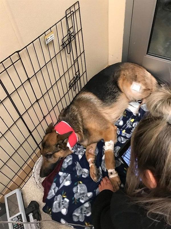 El perro fiel a su amo de 16 años recibe cuatro balazos al defenderle de unos agresores