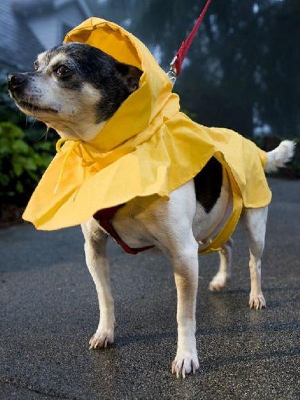 Un perro preparadísimo para aguantar la lluvia