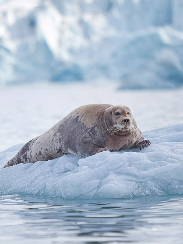 Las nuevas rutas marítimas del Ártico amenazan a los mamíferos marinos