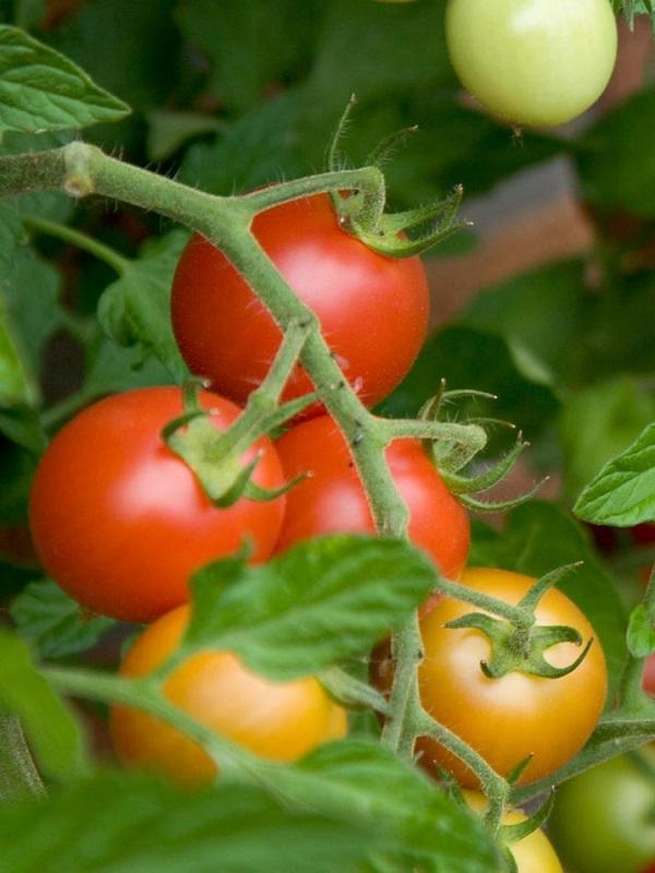 Tomate, brócoli y judías resistentes al cambio climático y adaptadas a los métodos de producción ecológica