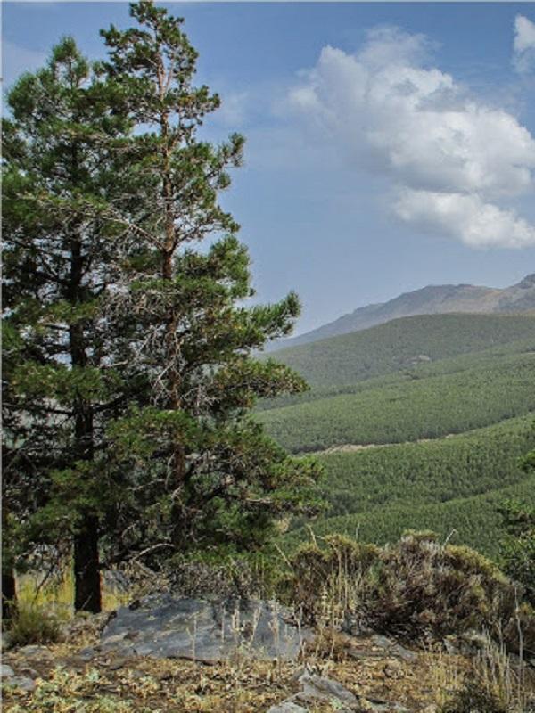 Trabajos de regeneración en la masa forestal del Parque de Sierra Nevada contra el cambio climático