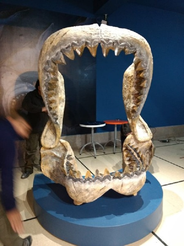En el museo Argentino de ciencias naturales presentan el esqueleto de un megaraptor y la boca de un tiburón gigante