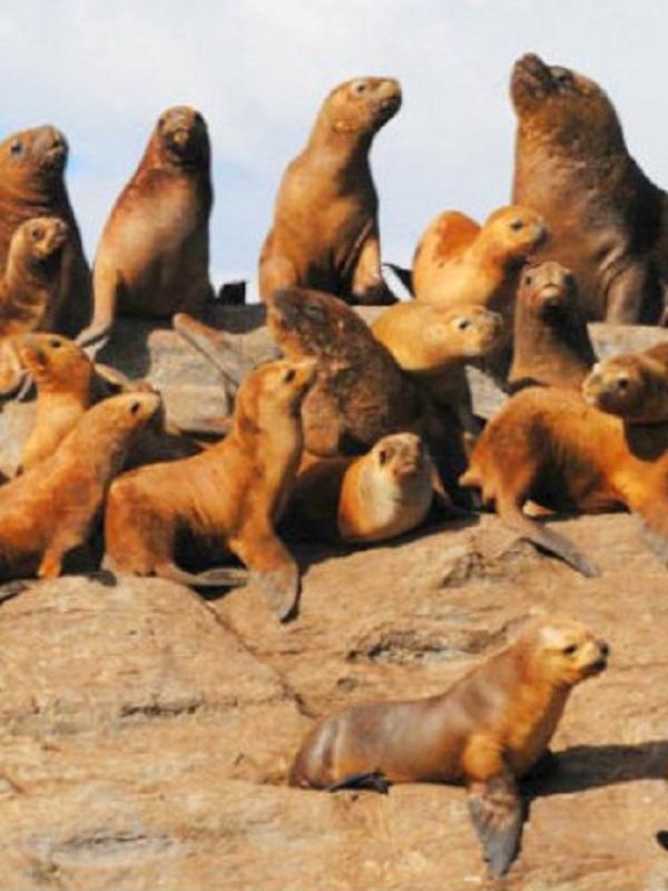 Los leones y los osos marinos sudamericanos en la zona del río de la Plata (Uruguay)