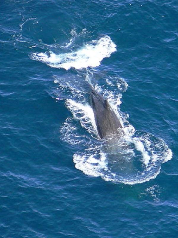 La ballena franca y la gris habitaban el Mediterráneo en la época romana