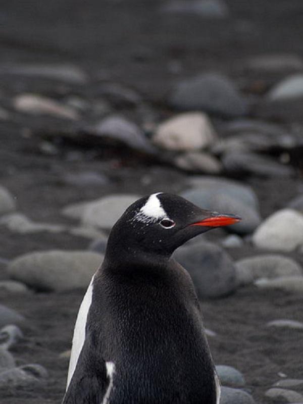 STOP a la pesca de kril en las zonas donde se alimentan los pingüinos