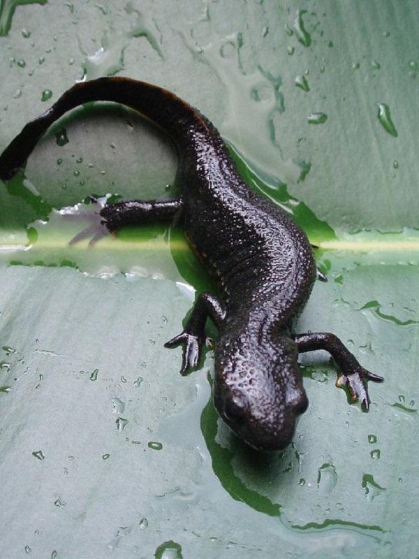 Las salamandras muestran mayor resistencia al calentamiento global