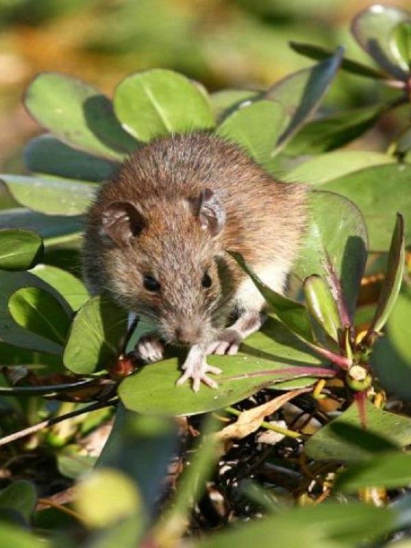 Las ratas reinan en el archipiélago de Chagos
