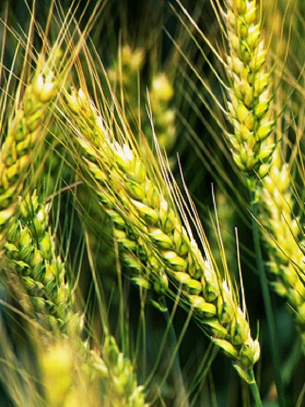 Las plantas de arroz evolucionan para adaptarse a las inundaciones