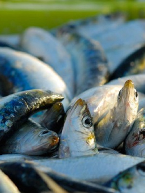 Mucho cuidado con la presencia de metales en el pescado