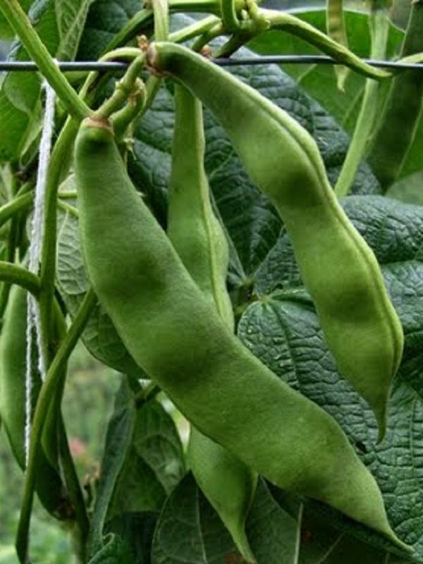 Lombricomposta para el cuidado de la planta de frijol