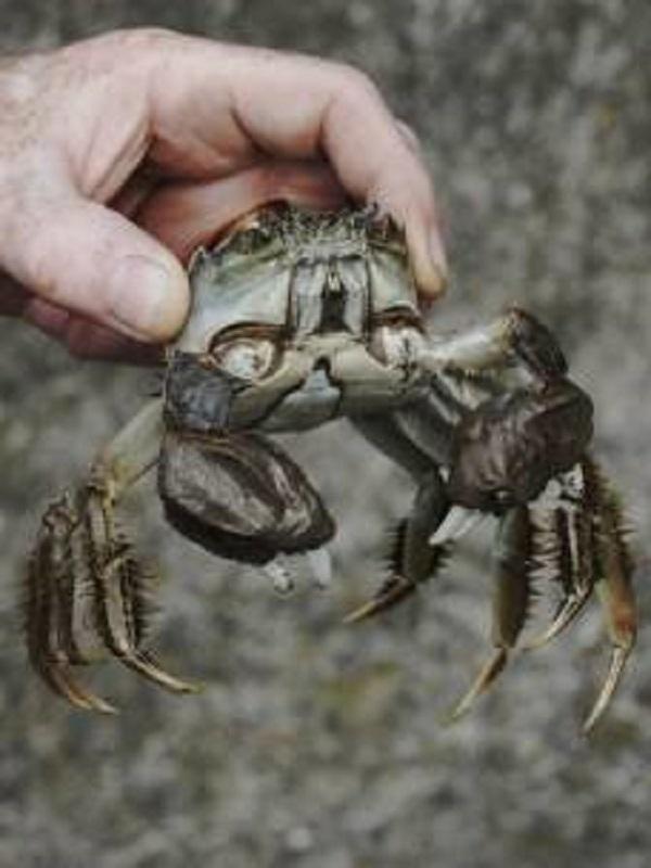 Incautan en Madrid cangrejo chino, una de las especies más invasoras