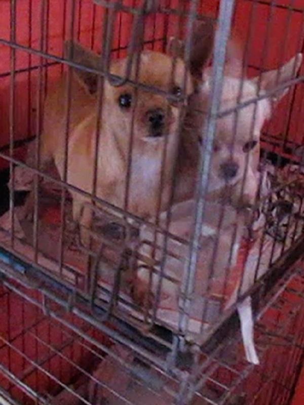 Castellón, incautan cientos de perros de raza en un centro ilegal de cría
