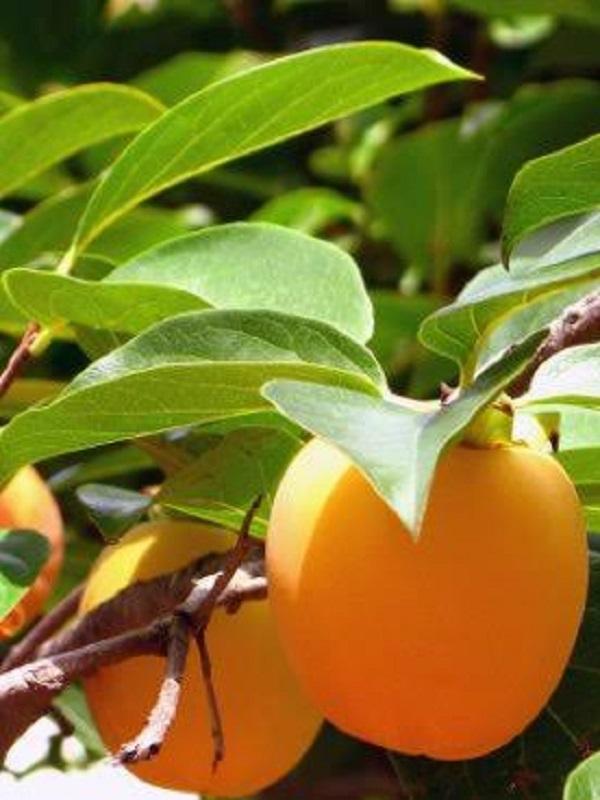 Los efectos negativos del cambio climático en los frutales de hueso