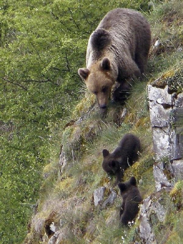 La población de osos en Castilla y León se incrementó hasta las ocho osas y las 14 crías