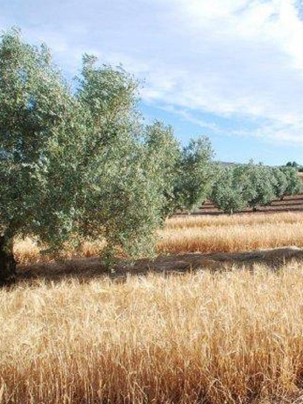 El cultivo de cebada cervecera en olivares de Jaén una idea muy sostenible