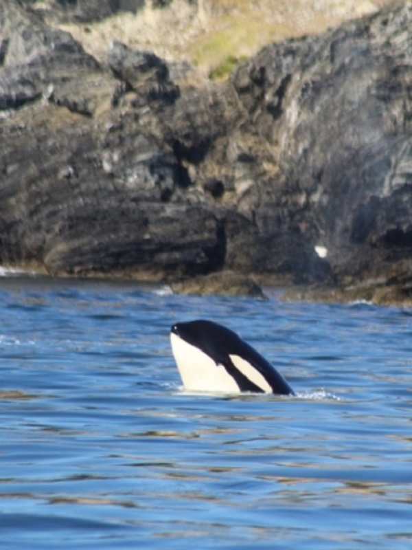 Una mamá orca llevó a su bebé muerto a través del océano en señal de luto