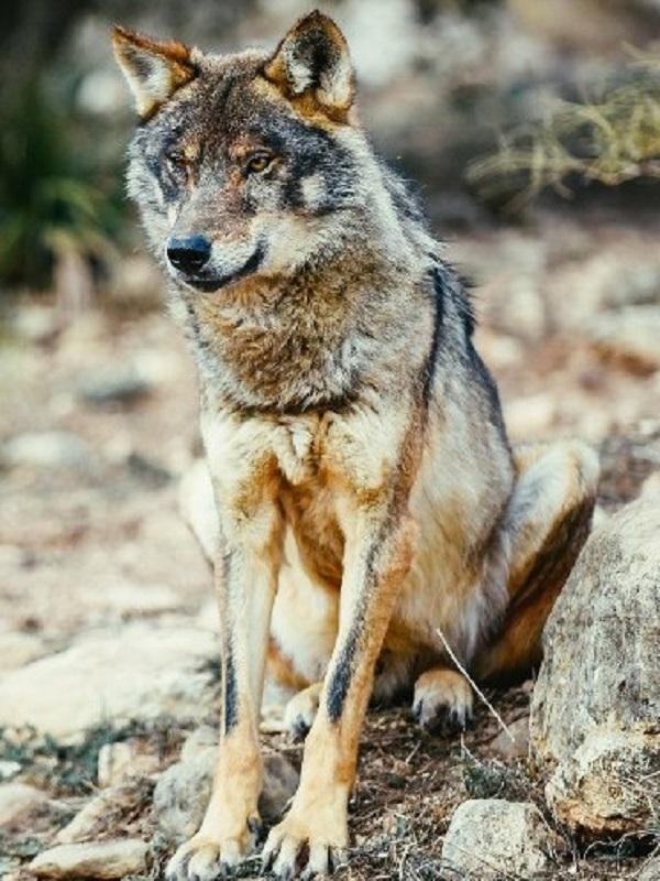 Lobos y humanos, la convivencia es posible