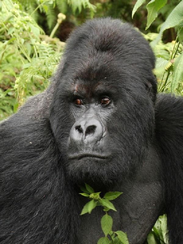Parque Nacional Virunga: STOP al turismo