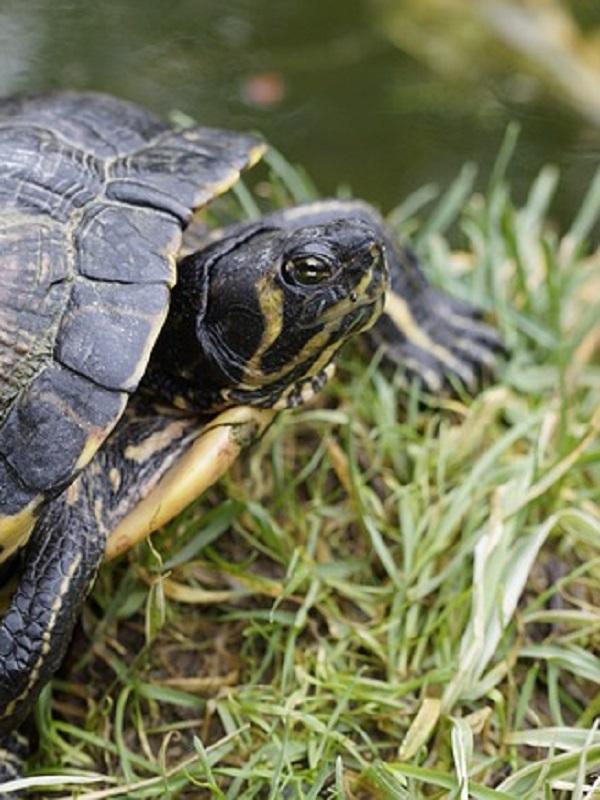 La temperatura, el tamaño sí importa, y las tortugas