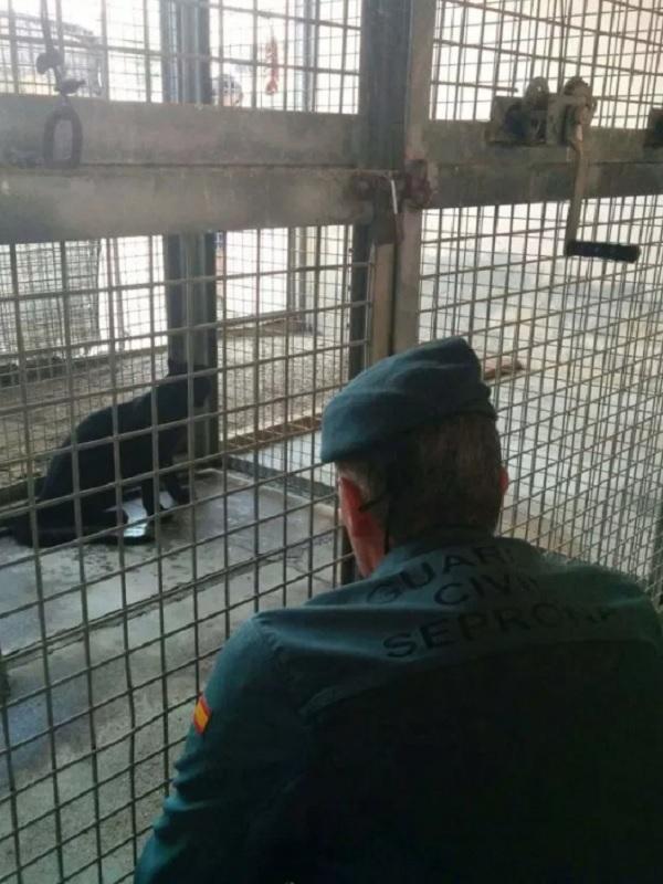 El SEPRONA interviene una pantera negra, patas de elefante y un puma a dos iluminados en Ciudad Real