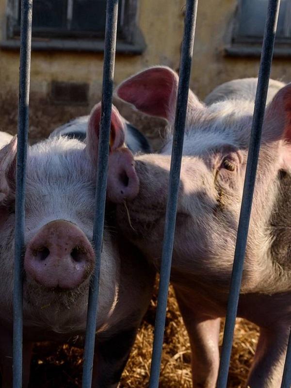 Europa limitará el uso de antibióticos en animales por los efectos nocivos en la salud humana