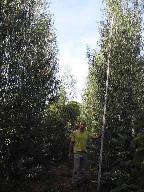 Certifican el uso energético de un tipo de eucalipto adaptado al clima de la provincia de Huelva
