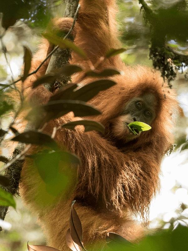 Nuevas piezas del puzle genético de los grandes simios