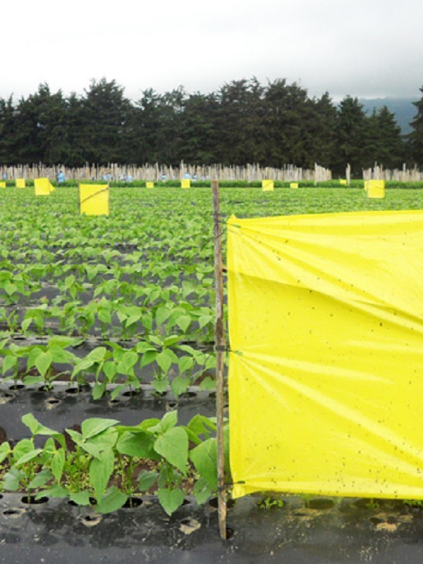 ¿Combatir las plagas en la agricultura con feromonas de insectos?