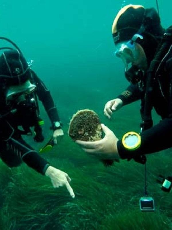 Reubican dos de los últimos ejemplares de nacras vivas de Mallorca en una zona controlada de reserva