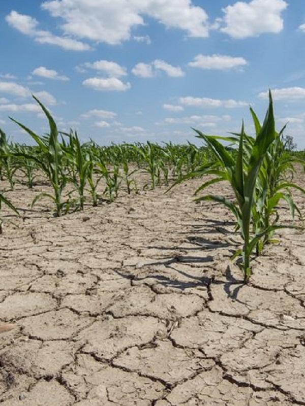 El cambio climático dejará la producción mundial de maíz a los pies de los caballos