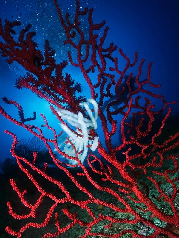 El cambio climático mata el 30% de gorgonia roja en parques naturales marinos catalanes