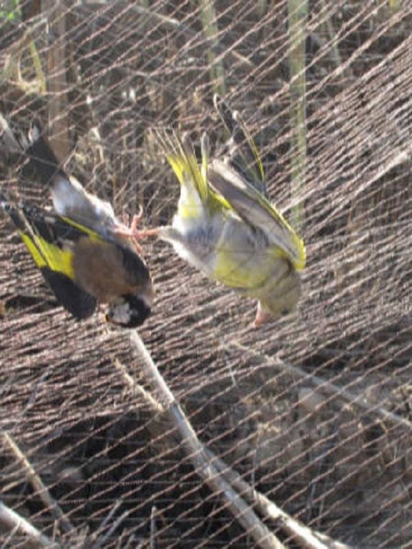 Denuncian a dos hombres con 122 pájaros cazados con redes y cimbeles para su venta ilegal
