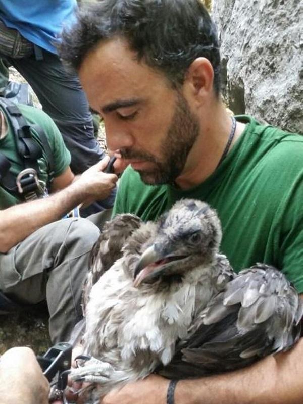 Marcaje de dos pollos de quebrantahuesos nacidos en libertad este año en Andalucía