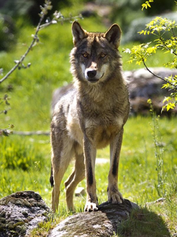 Denunciado por intentar vender un lobo congelado por internet para disecarlo