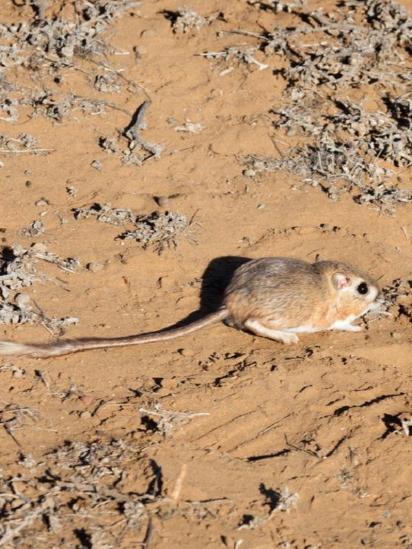 El redescubrimiento de la rata canguro de San Quintín