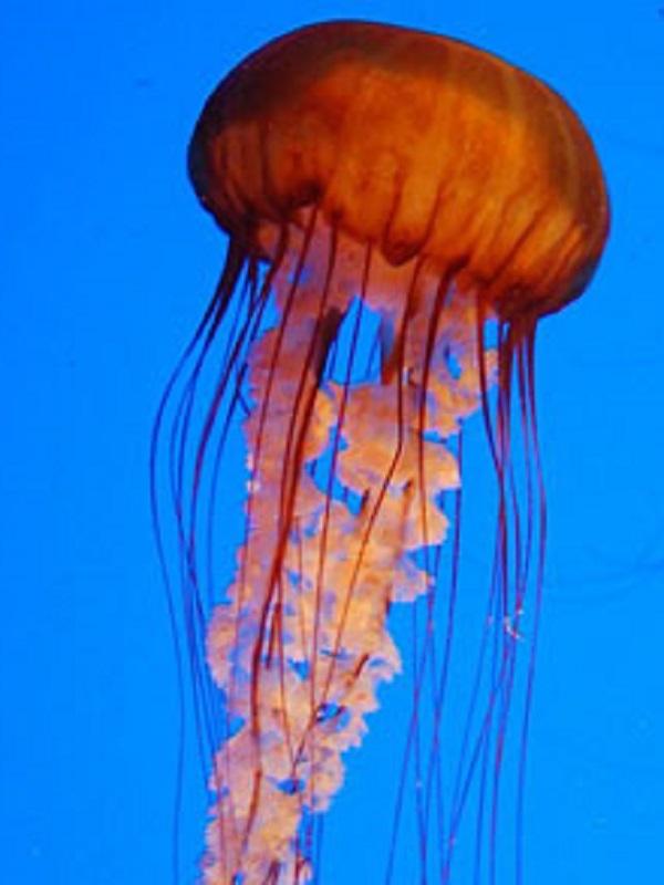 Si vas a la playa y hay medusas esta APP te avisa en tiempo real