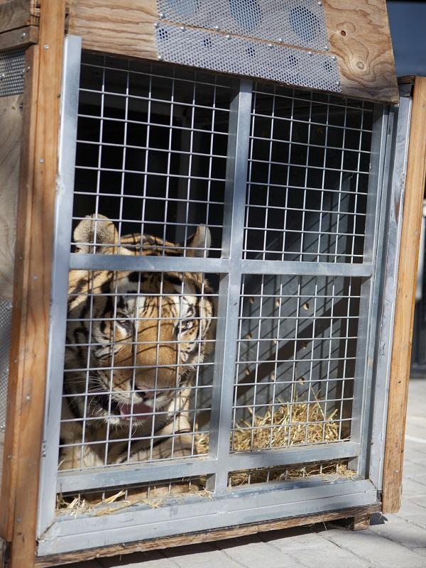 Un nuevo hogar para varios tigres procedentes de un Circo Español